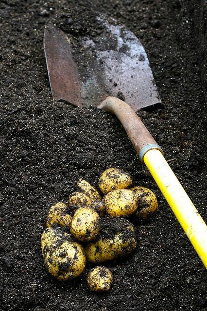 Krumpli szüret